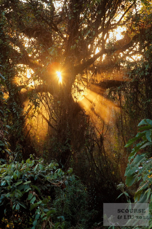 Sunlight floods through a tree thick with vines, moss and epiphytic growth in the Harenna forest.