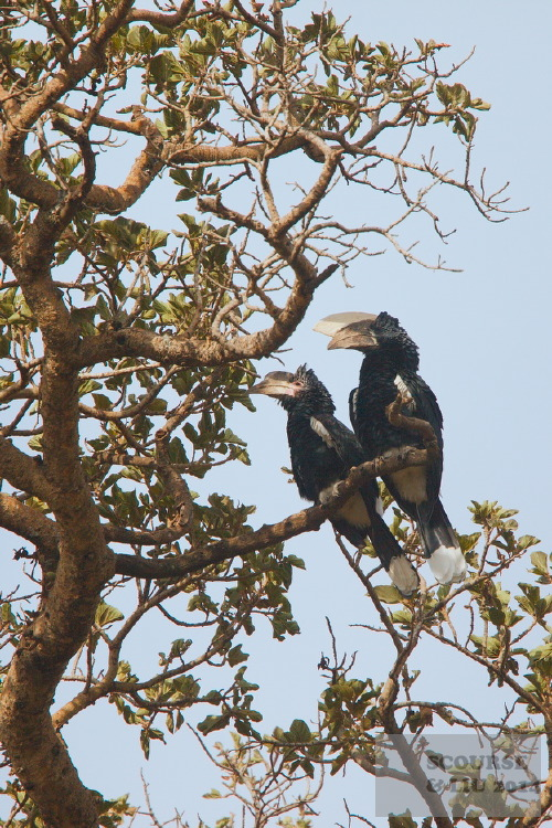 Silver Cheeked Hornbills are often seen (and their noisy wingbeats heard) in the forests.