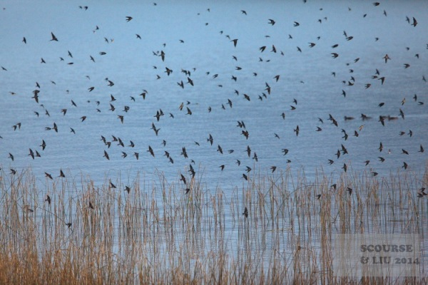 As evening approaches large numbers of swifts gather in the reeds.