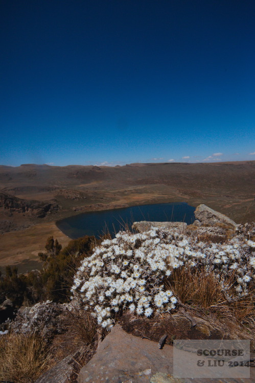 "The plateau has many pools and lakes on it, one of the largest is the Black Lake. In the foreground is a species of ""everlasting flowers"" common in the high altitude areas of Bale."