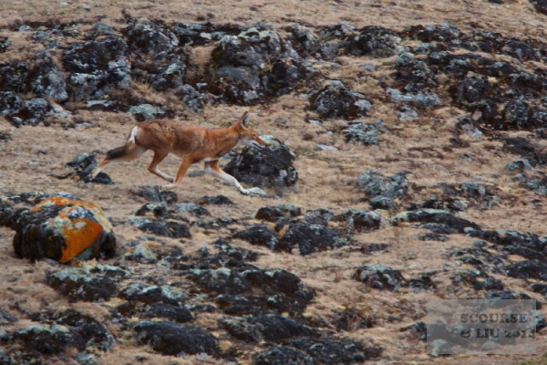 Whilst it may look dry and barren the plateau is in fact teeming with rodent life, thus helping to support the wolf and raptor populations.