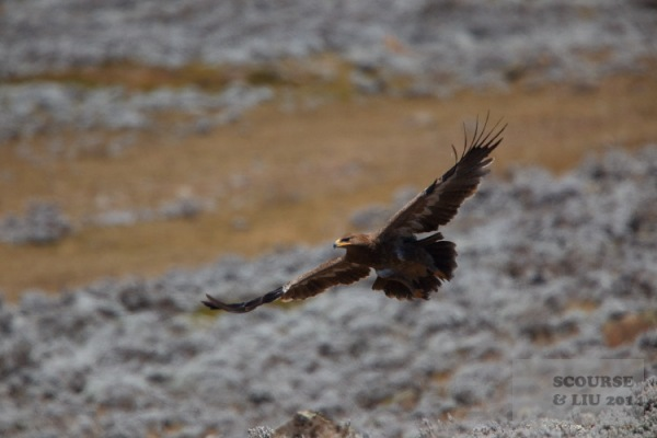 An eagle soars over the plateau. A wide variety of birds of prey can be seen.