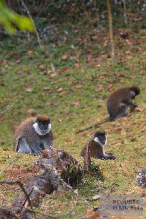 The Bale Monkey is endemic to the Bale Mountains and little is known about its biology. It is commonly found around bamboo forests, however on both occasions we saw it is was eating small blue flowers from a grassy clearing.