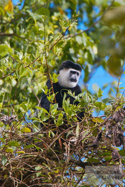 Black and White Colobus monkeys are well represented in the park and also more easily seen.