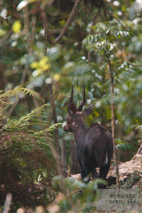 More usually seen in the undergrowth or when crossing the road is Menedik's bushbuck.