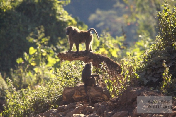 Baboons sun themselves on the sides of the road through the national park.
