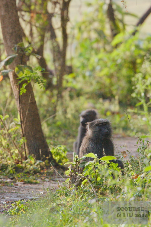 Baboons are often encountered on the paths.